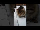 Золотая  Кнопка.  Первый раз гуляет на улице  Моя кошка