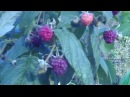 Ремонтантная малина осенью посадка, уход, обрезка на зиму, выращивание, описание сорта отзывы видео