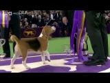 Самое престижное дог-шоу вмире минута славы, ради которой собакам приходится через многое пройти. Новости. Первый канал