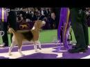 Самое престижное дог-шоу вмире: минута славы, ради которой собакам приходится через многое пройти. Новости. Первый канал