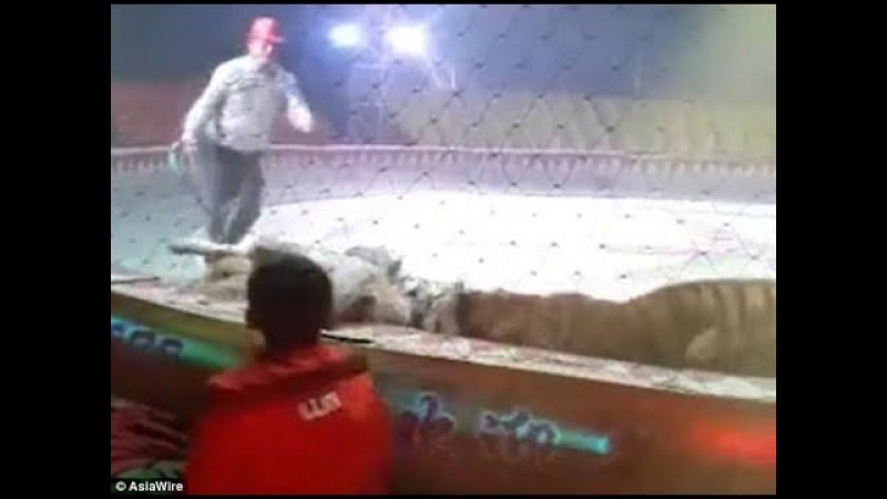 Shocking moment a lion AND tiger attack a horse at a circus in China