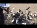 О торцовом стиле полета голубей. Батищев В.Н. Часть 2