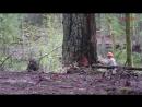 Proses Penebangan Pohon Besar Dengan Sengso