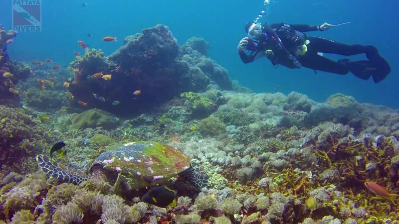 Черепаха косит трынь-траву на дайвсайте Кристал бей острова Нуса-Пенида | Дайвинг на Бали