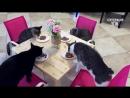 Приколы с Котами - Смешные коты и кошки - ПОПРОБУЙ НЕ ЗАСМЕЯТЬСЯ - смешное