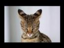 10 самых милых пород кошек №2
