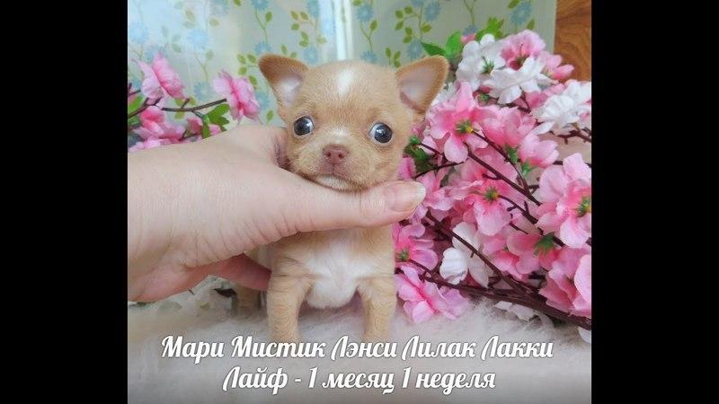 СУПЕР МИНИ ЧИХУА - МАРИ МИСТИК ЛЭНСИ ЛИЛАК ЛАККИ ЛАЙФ - 1 МЕС 1 НЕД - ЗАРЕЗЕРВИРОВАН