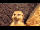 Math Meerkat meerkat scince education math