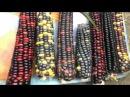 Цветная Кукуруза Ацтеков Multicolor Aztec Corn