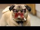 5 САМЫХ ОПАСНЫХ ПОРОД СОБАК В МИРЕ Самые Опасные Породы Собак
