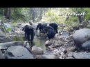 Chimpanzees fishing for algae with tools in Bakoun Guinea PanAf