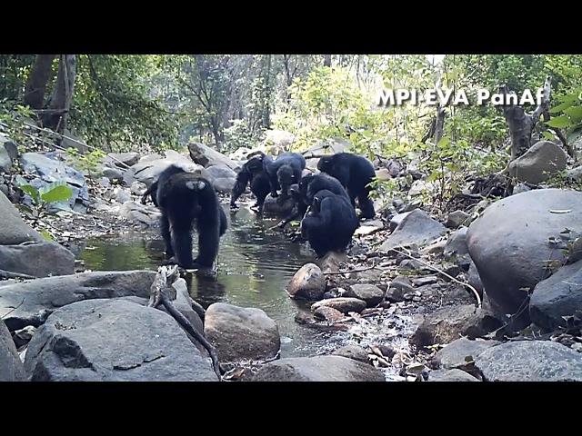 Chimpanzees fishing for algae with tools in Bakoun Guinea PanAf