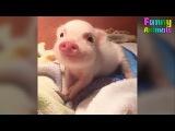 Cute Micro Pig - A Cute Mini Pig Videos Compilation 2017