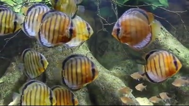 «Acará Disco ( Discus Angel fish - Biotopes from Amazon )».