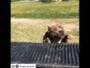 Big boy on the move jumping into the back of the Ram1500 is no problem for this big boy @frogtownpits Follow @Bullysofinsta