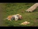 амурского тигра Тамерлана угостили мясным тортом в Ярославском зоопарке