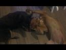 Бордоский дог Ляля играет с другом на передержке