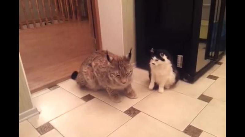 Домашняя рысь.....кошки ..они и есть кошки)