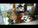 рыбки цихлиды дискусы сомы