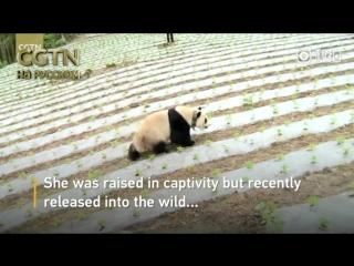 Незваный гость: Гигантская панда заглянула в село уезда Вэнчуань (пров. Сычуань), чем вызвала настоящий восторг у его жителей. О