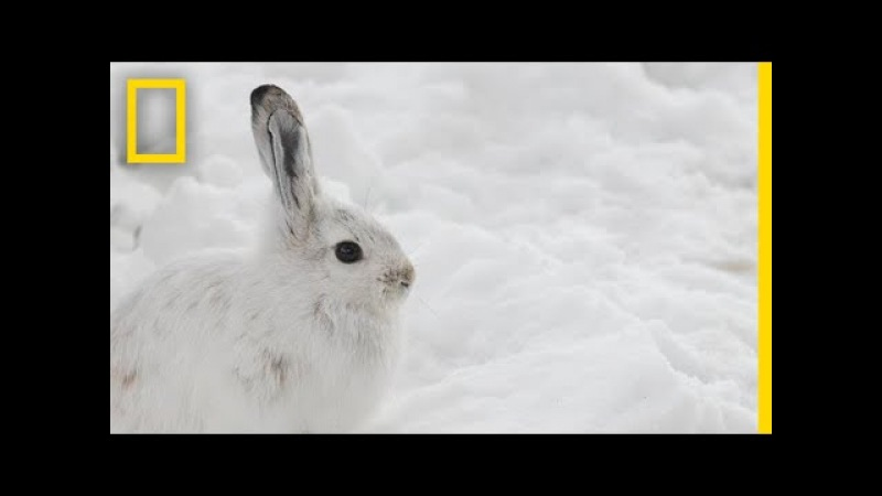 Will Snowshoe Hares Win a Race Between Evolution and Climate Change? | National Geographic