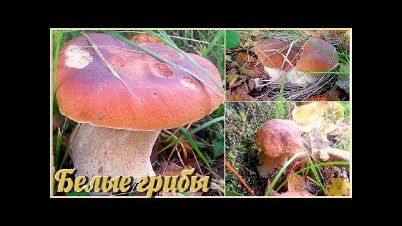 Белые грибы 30 штук на одном месте. Вот это удача! Сентябрь 2017 Boletus Edulis Funghi Porcini
