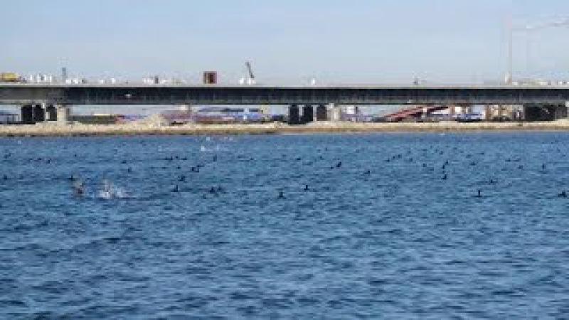 Популяция дельфинов в районе строительства Крымского моста выросла за последний год