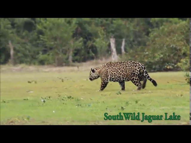 Большой самец ягуара преследует тапира (Big male Jaguar salivates over and stalks oblivious Tapir at Jaguar Lake)