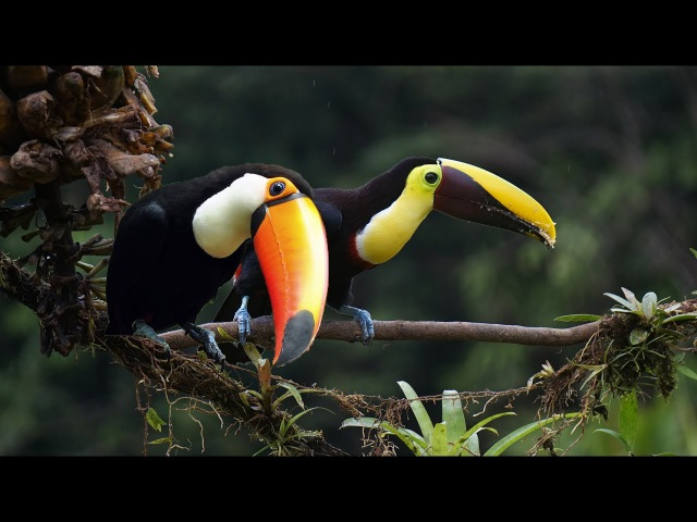 Animal Planet Toucan Bird Documentary