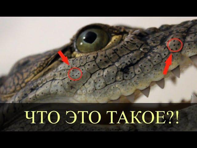 ТОЧКИ НА ТЕЛЕ КРОКОДИЛА - ЧТО ЭТО О чувствительности крокодила и рецепторах на его коже!!