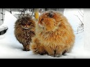 Siberian farm cats Not a Norwegian Forest Cats Pooh and Tyoma История фотки Пух и Тёма