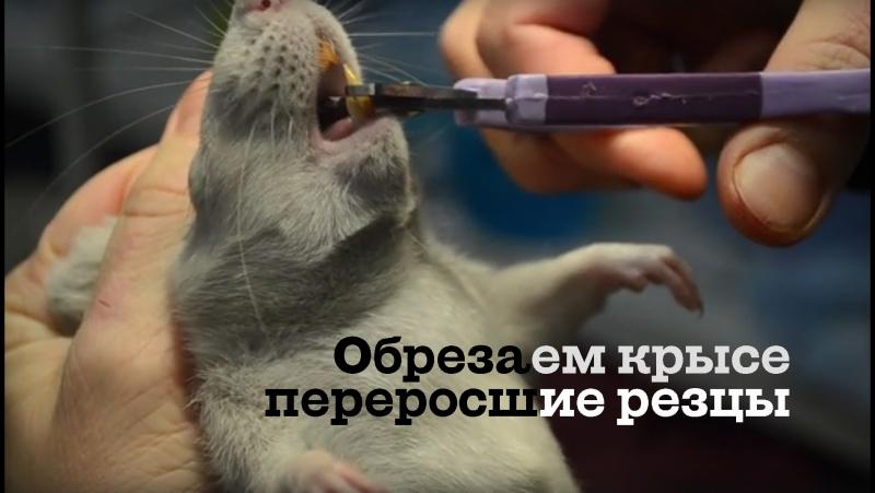 Как обрезать крысе переросшие зубы