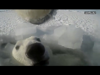 Ученые прикрепили камеру GoPro к медведю