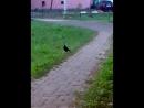 Чёрный грач !