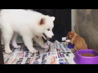 little puppy protects his food from a living marshmallow