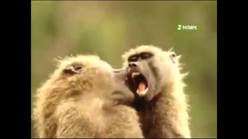 Животный мир Африки. Красавица и чудовище. Документальный фильм