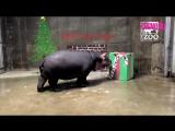 Подарок бегемоту