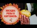 Розы в картошке 🌹 Как вырастить в домашних условиях? 🌹 Лайфхаки от hitsadTV