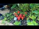 Ремонтантная садовая земляника Капри и Спаржи от Гуленина М.В.
