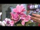 Удачная среда - ухаживаем за цикламенами (Бийское телевидение)