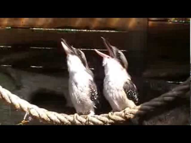 Laughing Kookaburra s
