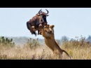 Most Spectacular Big Cat Attacks Compilation including Lion Attack Leopard Tiger Jaguar Cheetah
