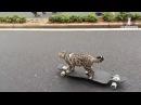 Кот катается на скейтборде.