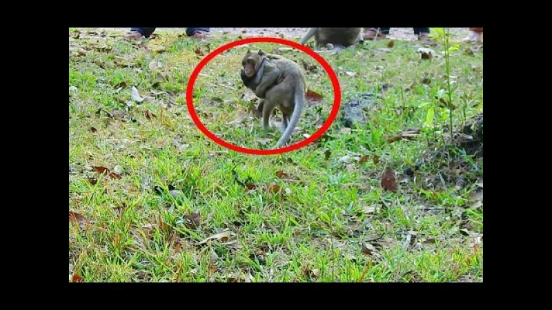 Ah! Why He Does Like This On Little Baby Monkey - Pigtail Needs Grooming Newborn Baby Monkey