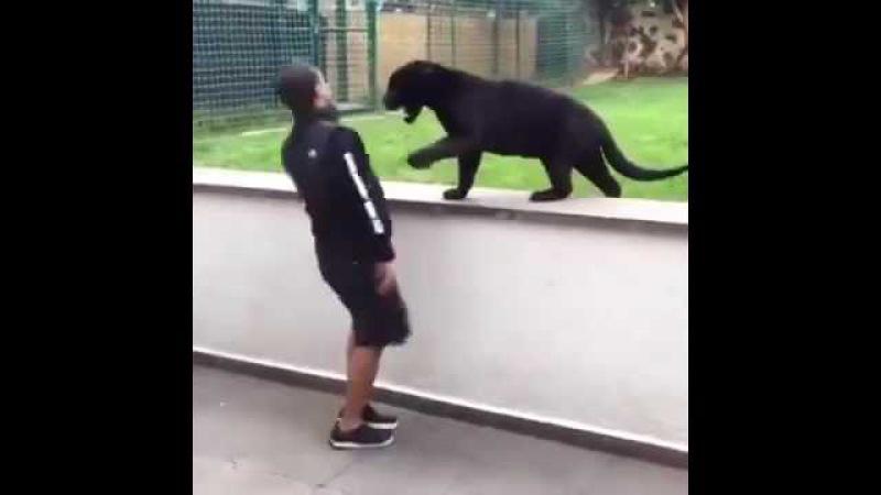 動物奇視:黑豹作勢攻擊,主人一個回萌,太可愛了!Panthers as a potential attack, the owner of a return sprouting