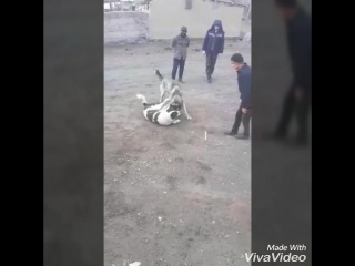 каракене vs автомат немерелеры мустанг vs алабай молодой