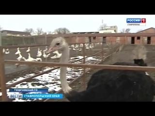 Павлины, страусы, олени. Экзотическая ферма на Ставрополье. Автор Лана Волкова