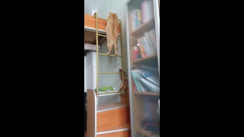 Мой кот)) Шурик забирается на 2-й этаж