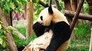 Панды едят и развлекаются как в Кунг-фу Панда