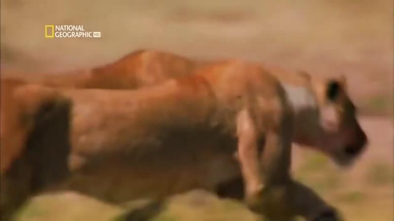 Самые опасные животные — пустыня и саванна (National Geographic HD)